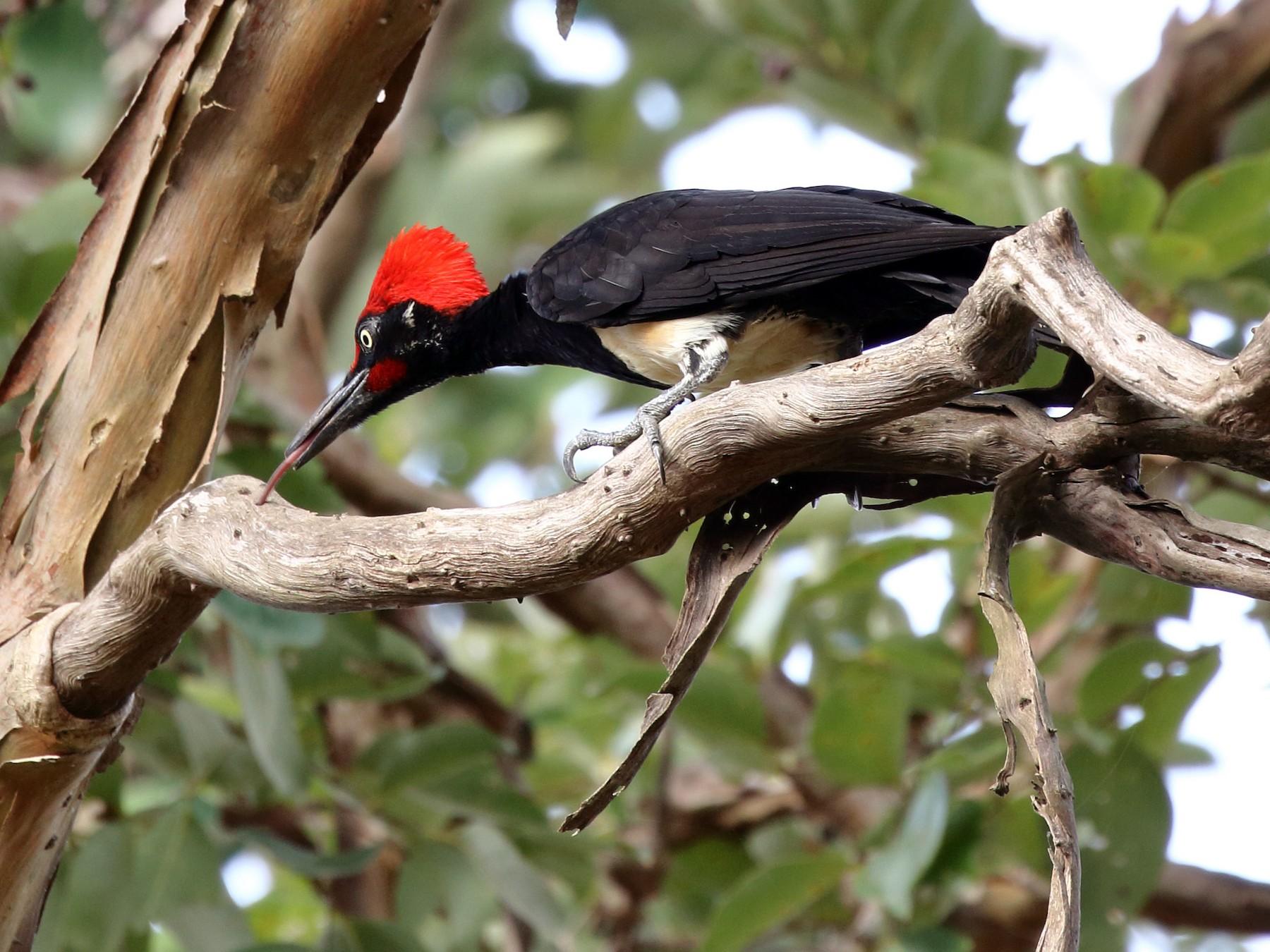 White-bellied Woodpecker - Rahul  Singh