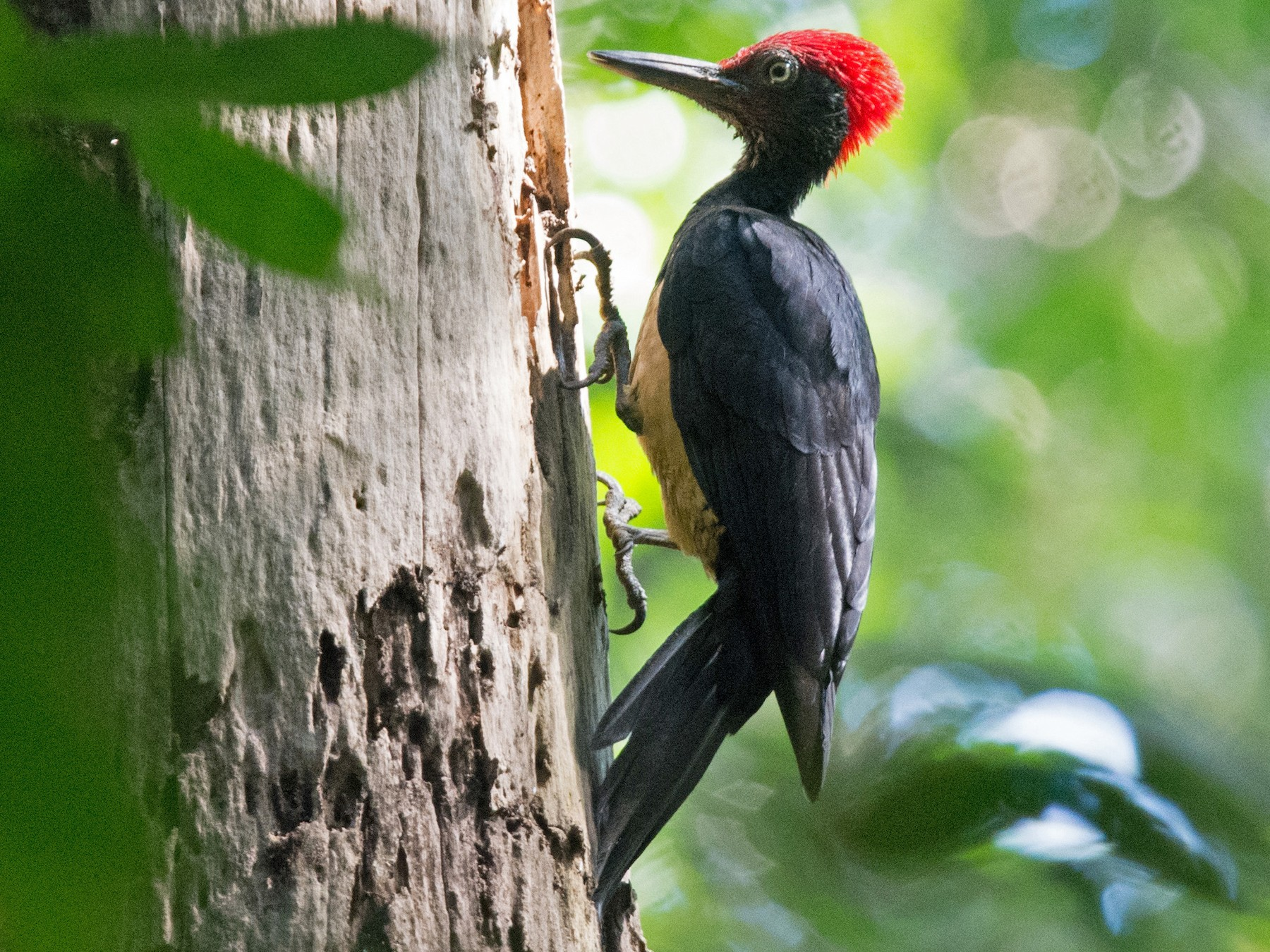 White-bellied Woodpecker - Sandra Chia