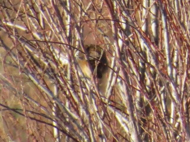 Moustached Warbler