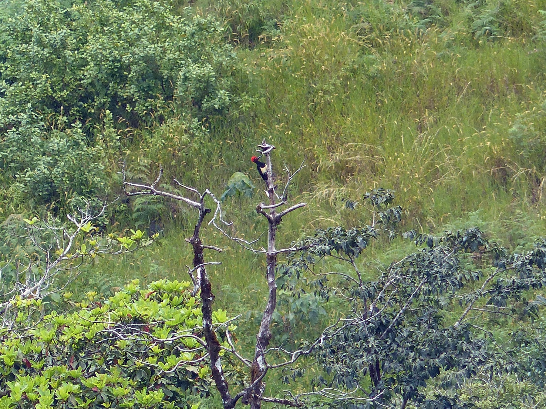 White-bellied Woodpecker - Ashwin Viswanathan