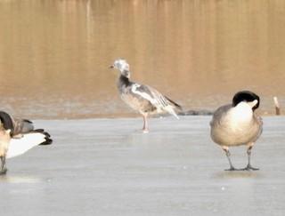 Snow Goose, ML147343711