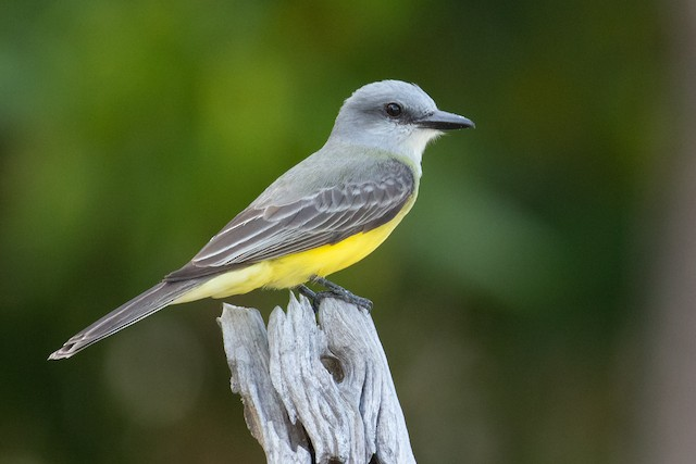 Tropical Kingbird