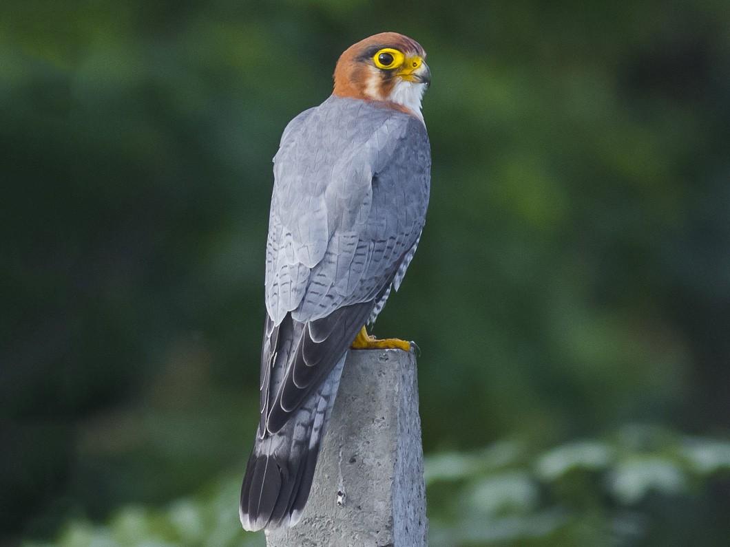 Red-necked Falcon - Rudraksha Chodankar