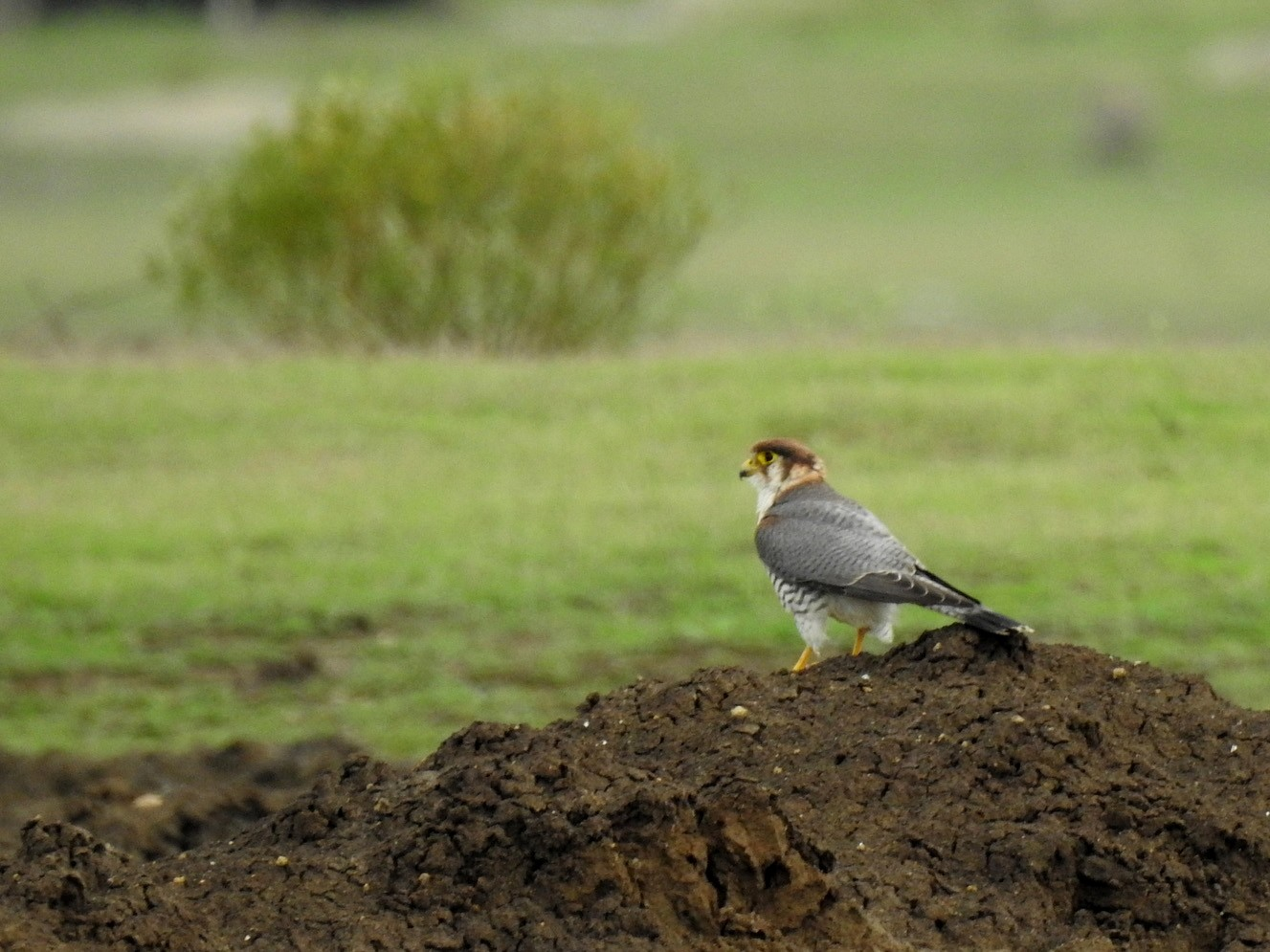 Red-necked Falcon - Anonymous eBirder