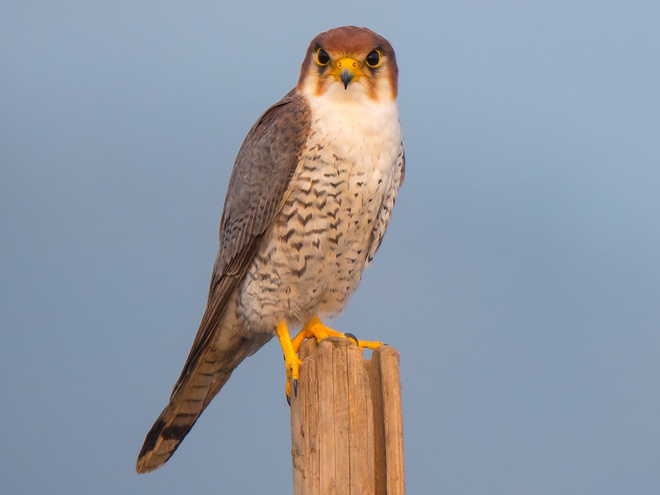 Red-necked Falcon - Saurabh Sawant