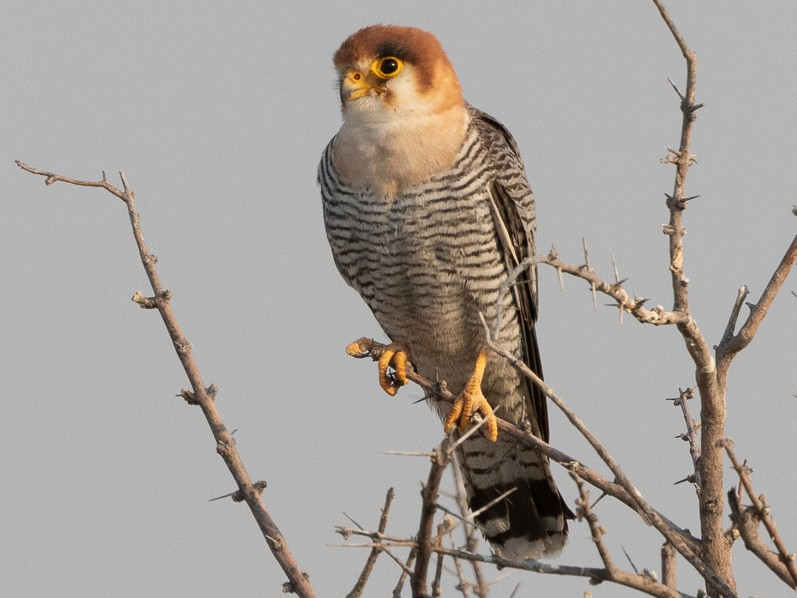 Red-necked Falcon - Jason Boyce