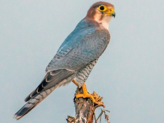 - Red-necked Falcon