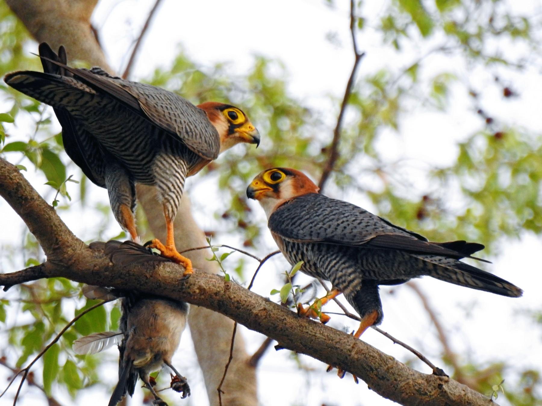 Red-necked Falcon - Joshua Smolders