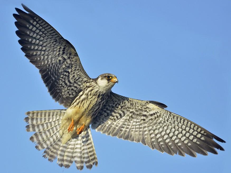 Amur Falcon - Abhilash Arjunan