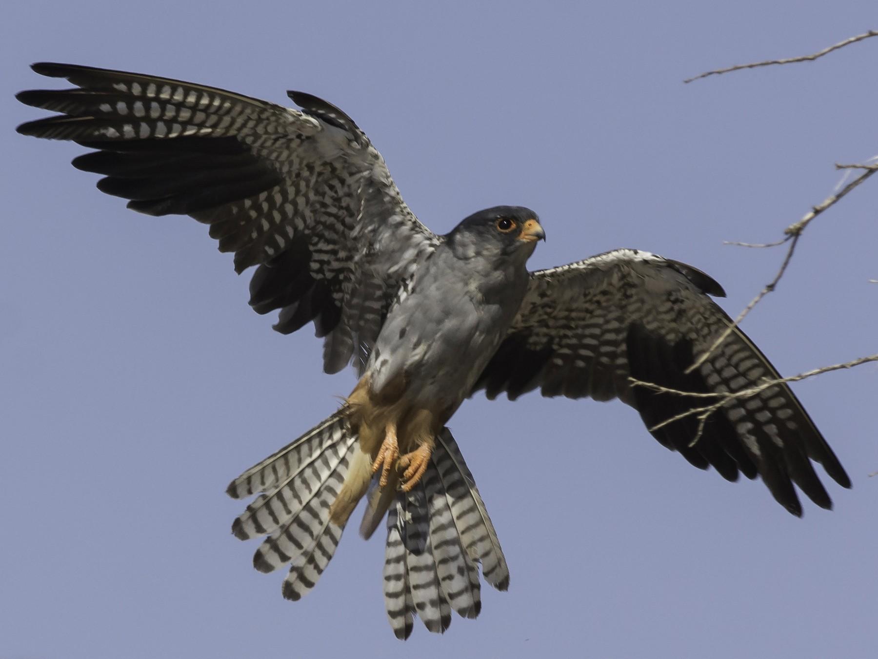 Amur Falcon - Batmunkh Davaasuren