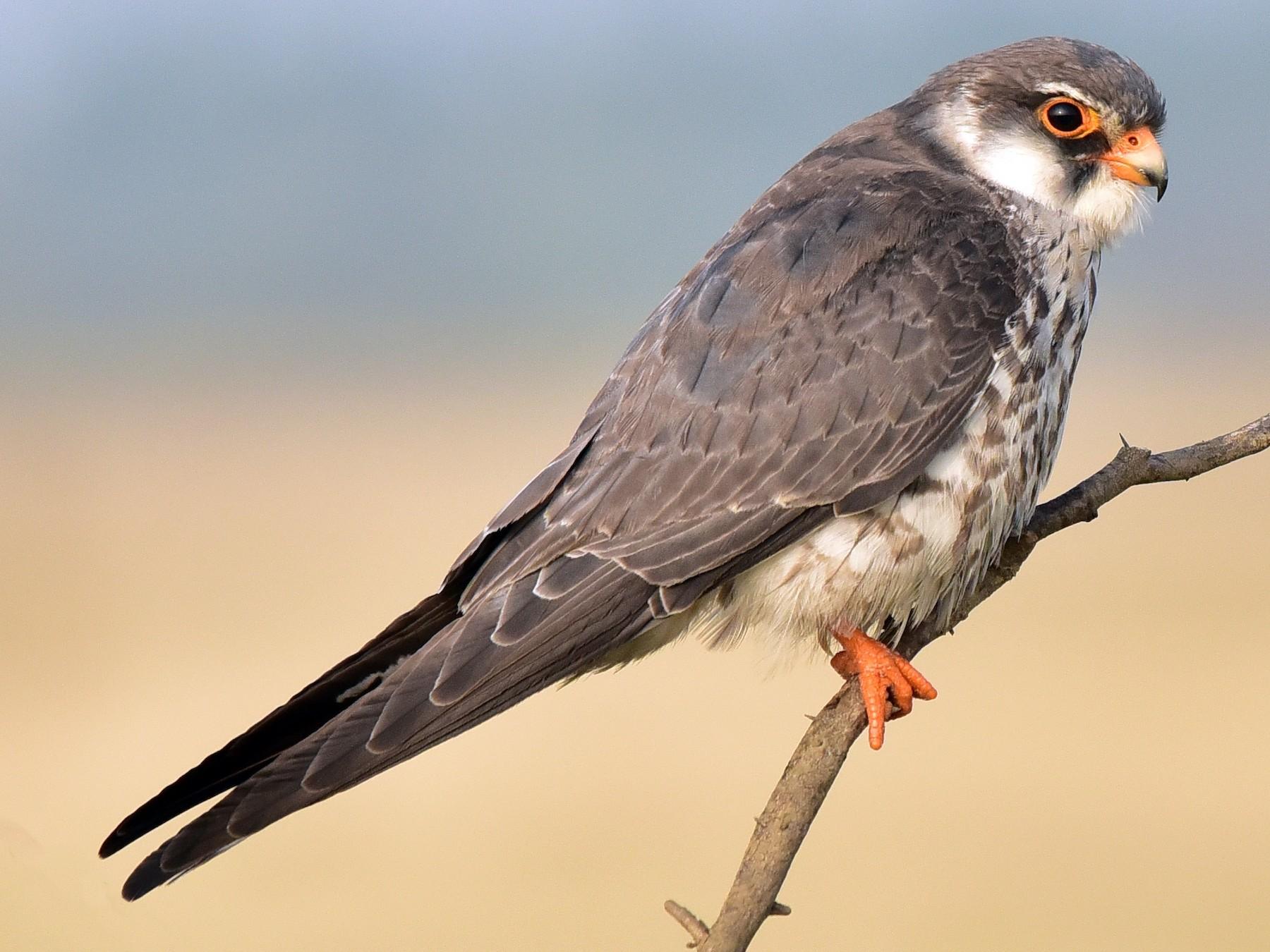 Amur Falcon - TheNatureTrust (GroupAccount)