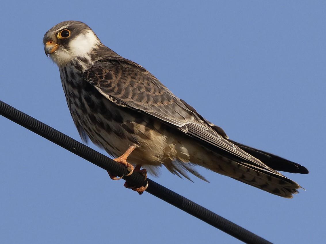 Amur Falcon - Stuart Price