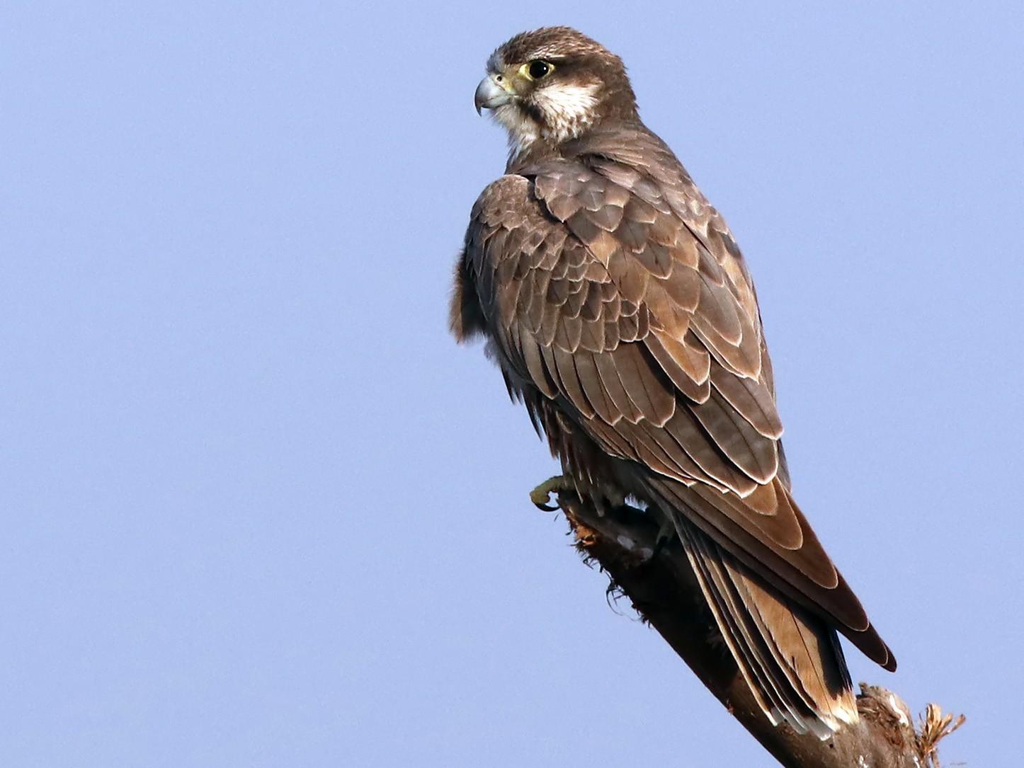 Laggar Falcon - Samiran  Jha