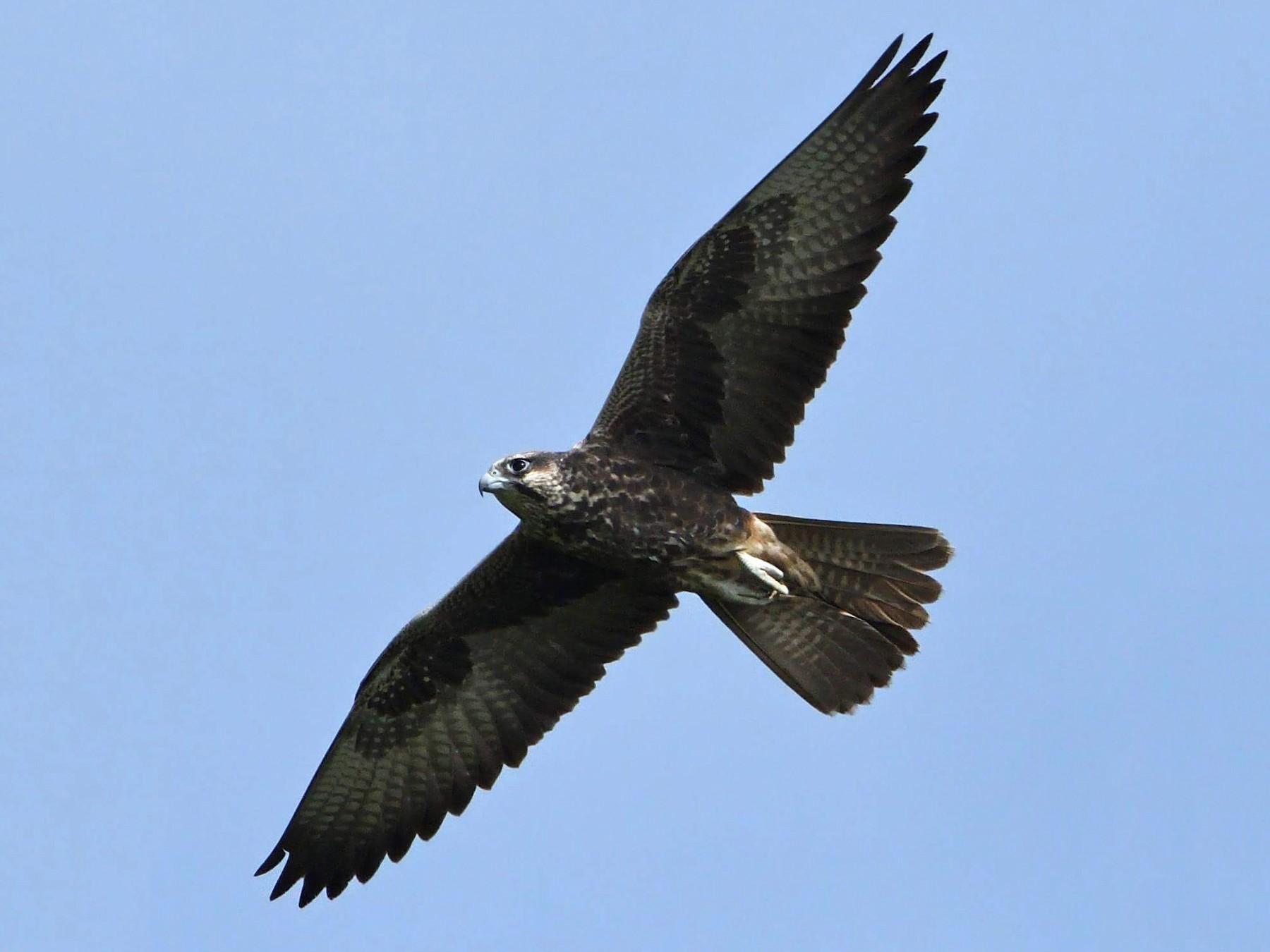 Laggar Falcon - Ajinkya  Supekar