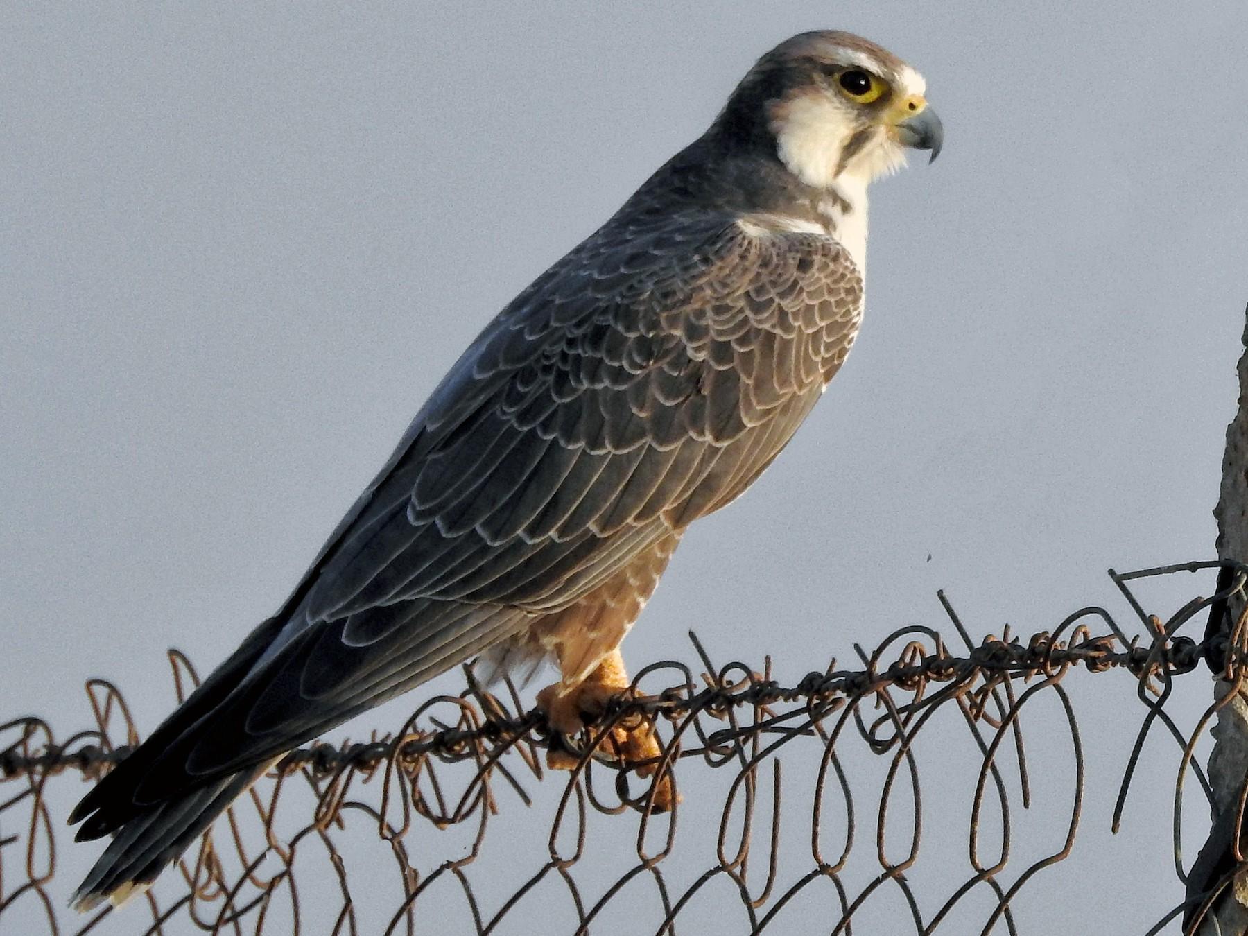 Laggar Falcon - Sourav Halder