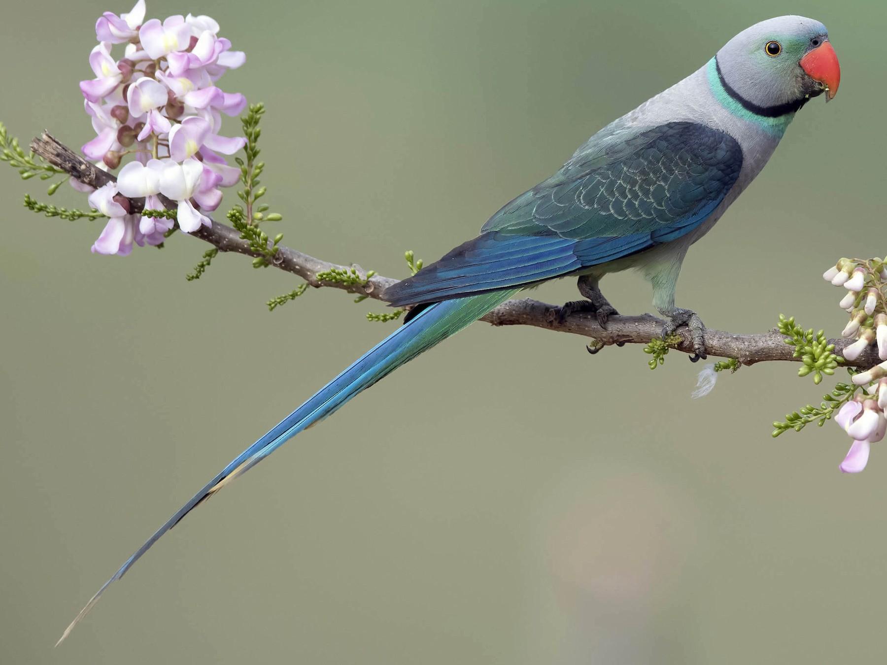Malabar Parakeet - Prabhakar Manjunath