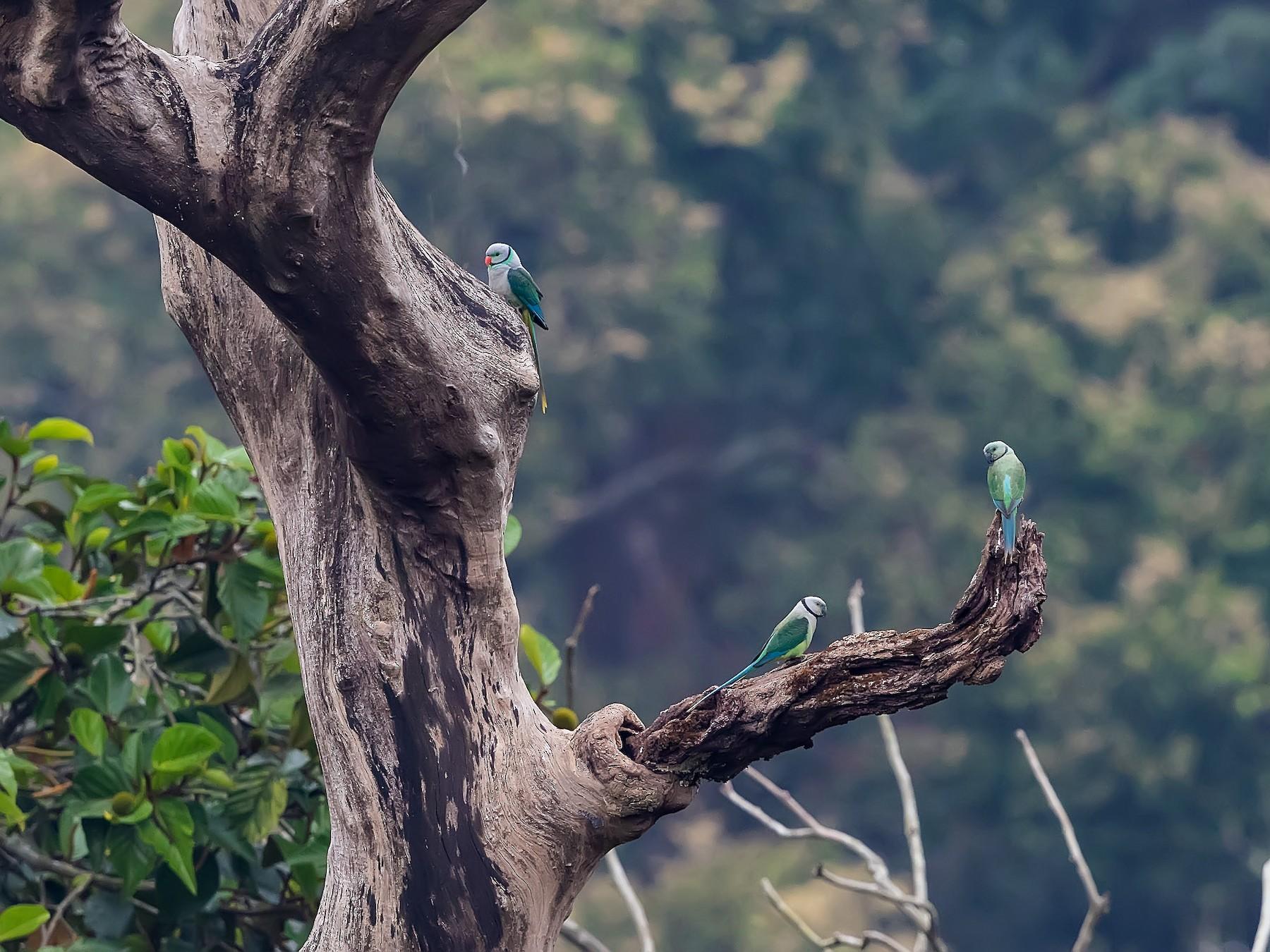 Malabar Parakeet - Stefan  Hirsch