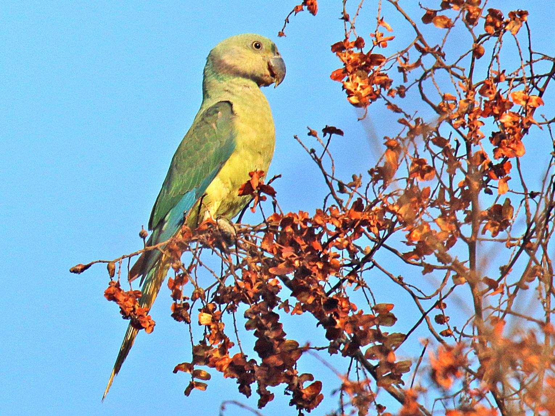 Malabar Parakeet - S S Suresh