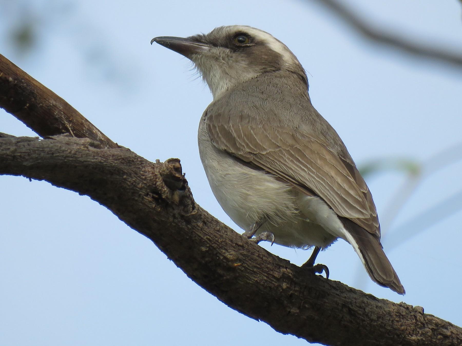 Common Woodshrike - Krishnamoorthy Muthirulan