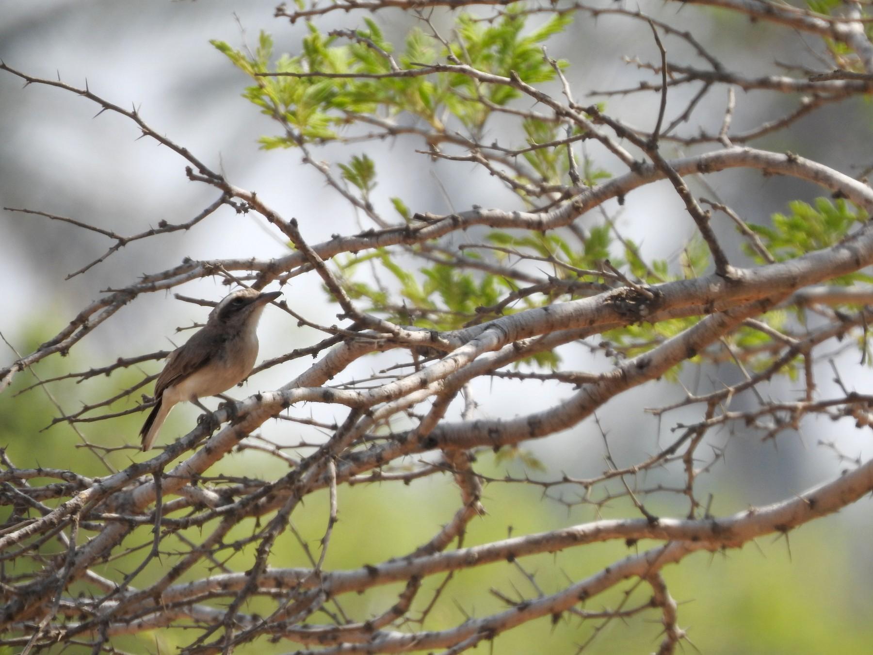 Common Woodshrike - Arulvelan Thillainayagam