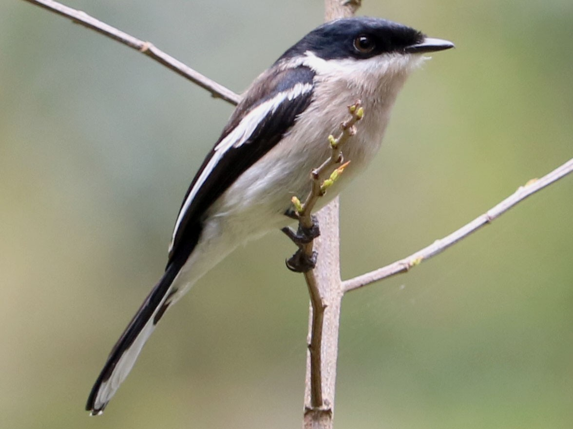 Bar-winged Flycatcher-shrike - Phuen tsho