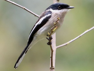 - Bar-winged Flycatcher-shrike