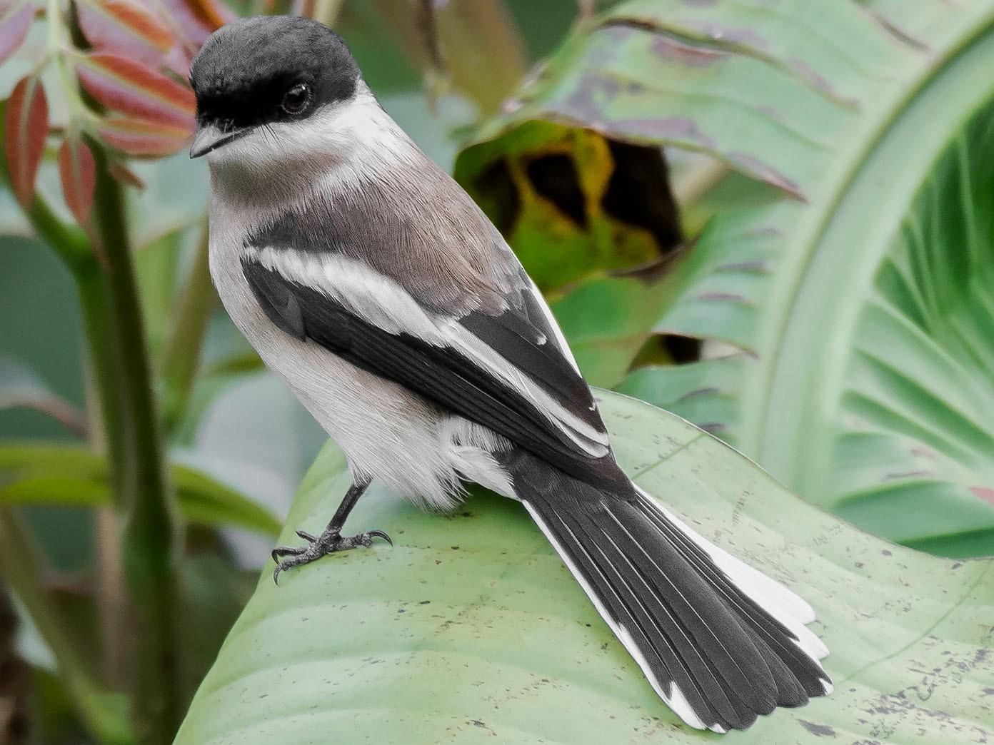 Bar-winged Flycatcher-shrike - Natthaphat Chotjuckdikul