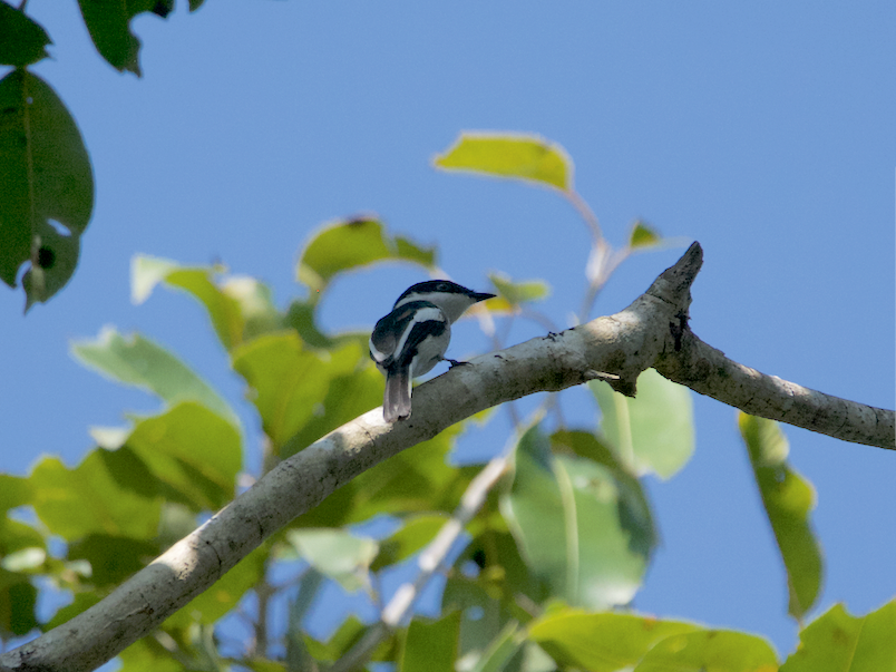 Bar-winged Flycatcher-shrike - Ashis Kumar  Pradhan