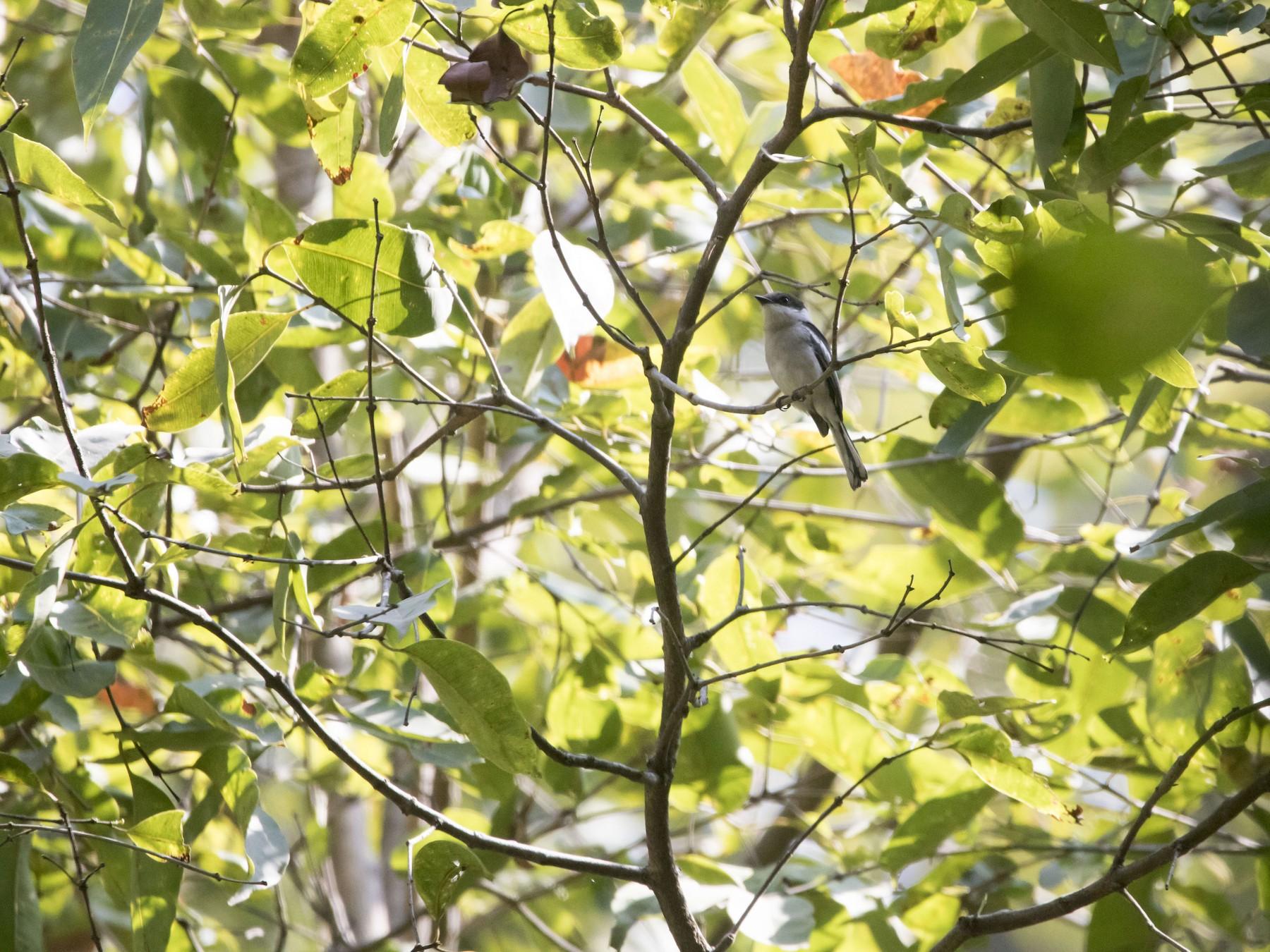 Bar-winged Flycatcher-shrike - Ravi naidu