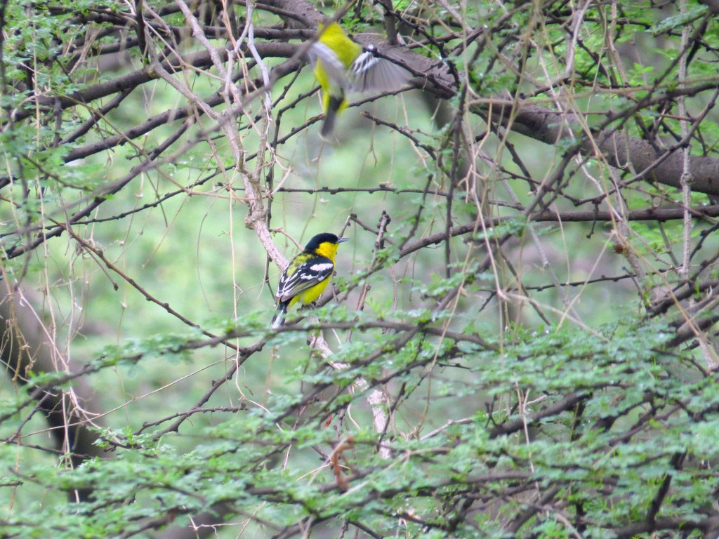 White-tailed Iora - Rajiv R