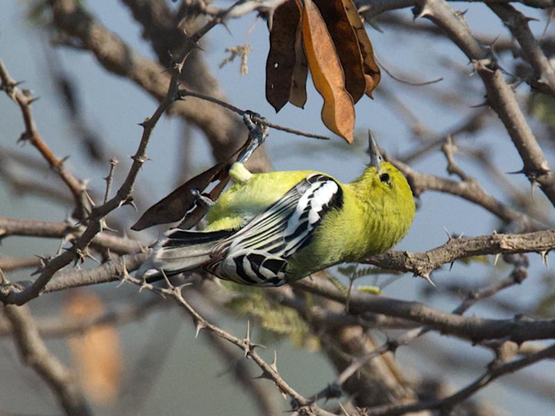 White-tailed Iora - Ashis Kumar  Pradhan