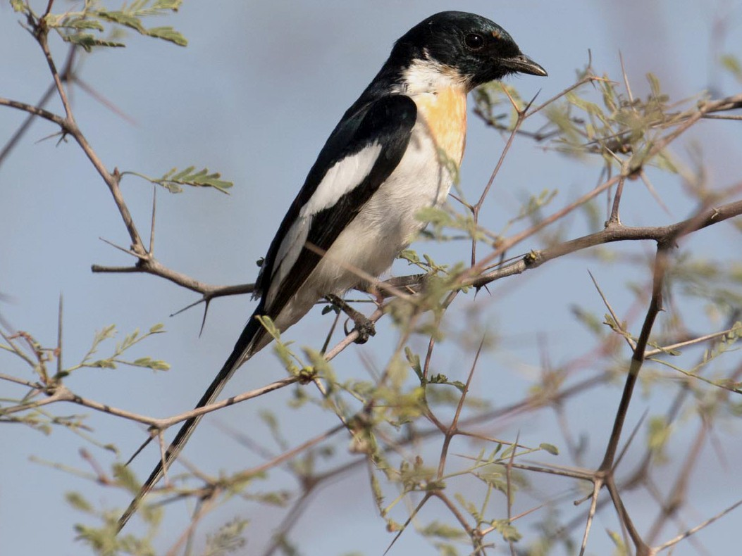 White-bellied Minivet - Josh Jones