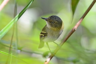 - Buff-cheeked Tody-Flycatcher