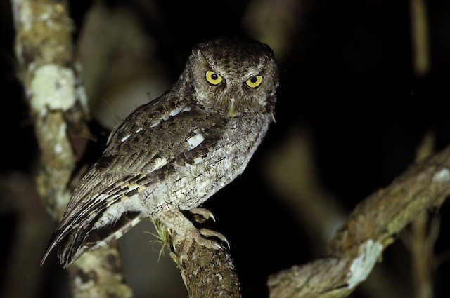 Middle American Screech-Owl (Middle American)