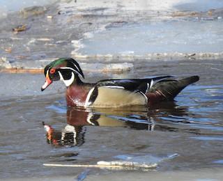 Wood Duck, ML147653591