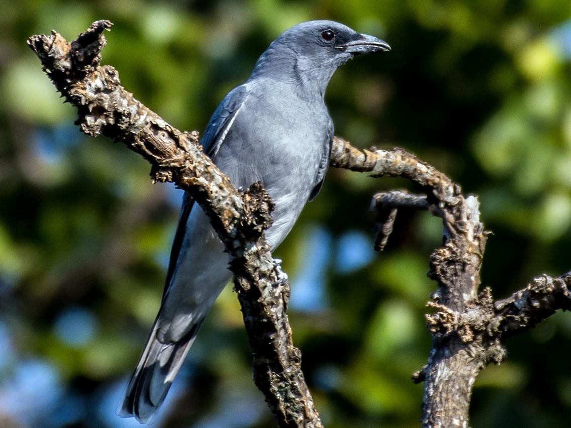 Large Cuckooshrike - Prashant Kumar