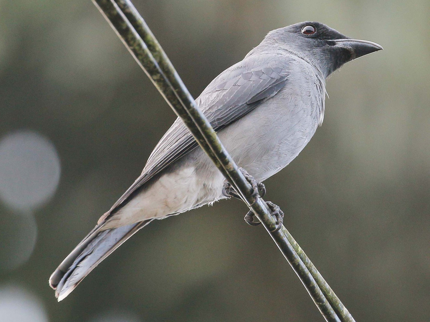 Large Cuckooshrike - Neoh Hor Kee