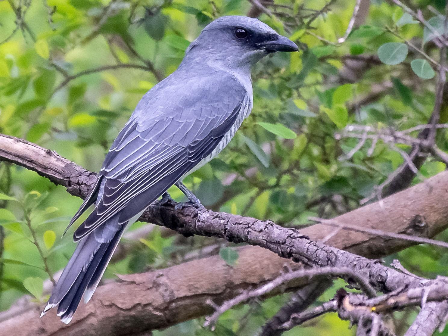 Large Cuckooshrike - Balaji P B