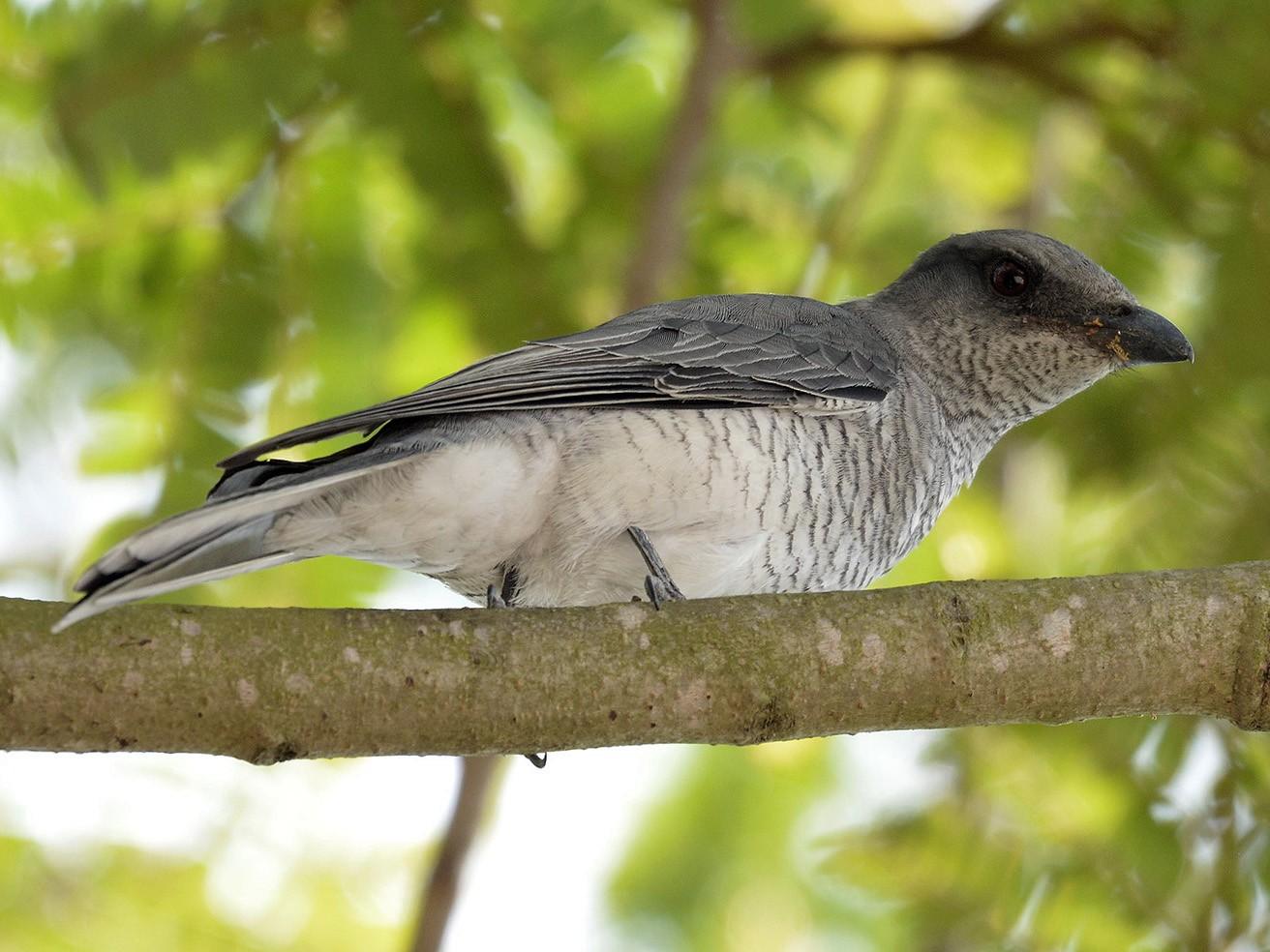 Large Cuckooshrike - Prem Prakash Garg