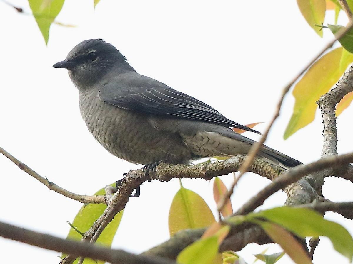 Black-winged Cuckooshrike - Albin Jacob