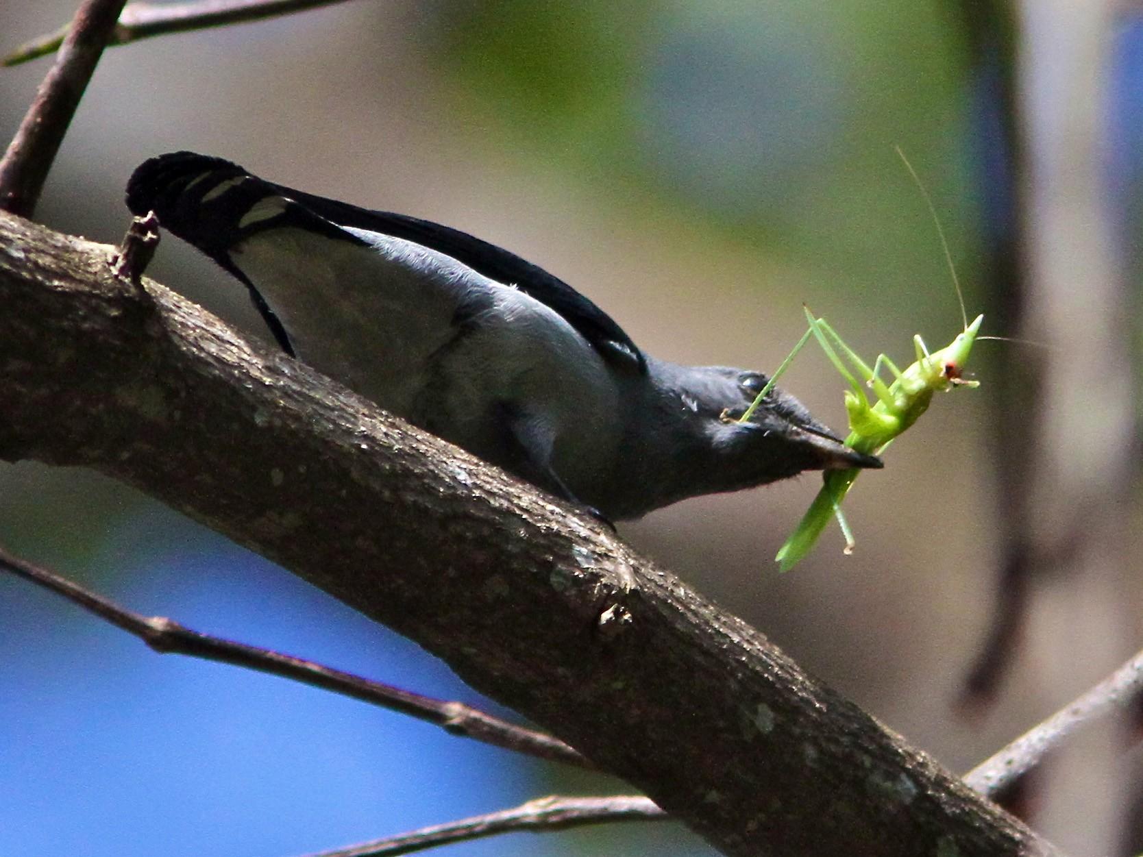 Black-winged Cuckooshrike - Don Roberson