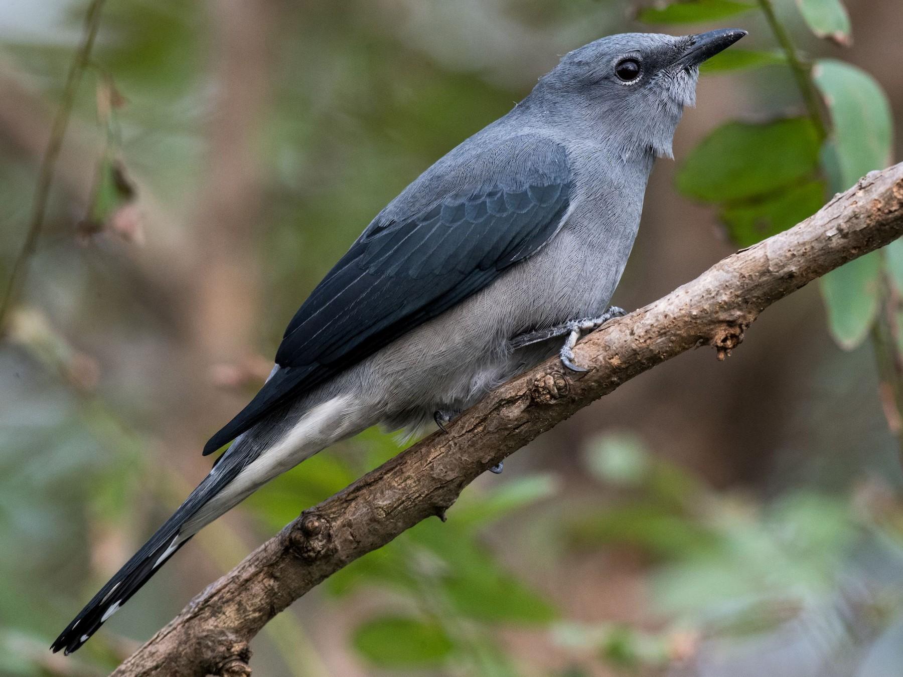 Black-winged Cuckooshrike - Kai Pflug