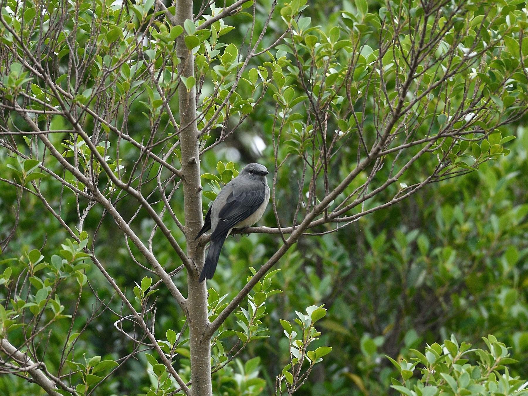 Black-winged Cuckooshrike - Lee-Lien WANG