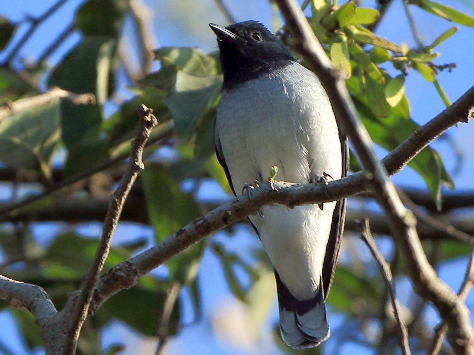 Black-headed Cuckooshrike - Arnab Pal