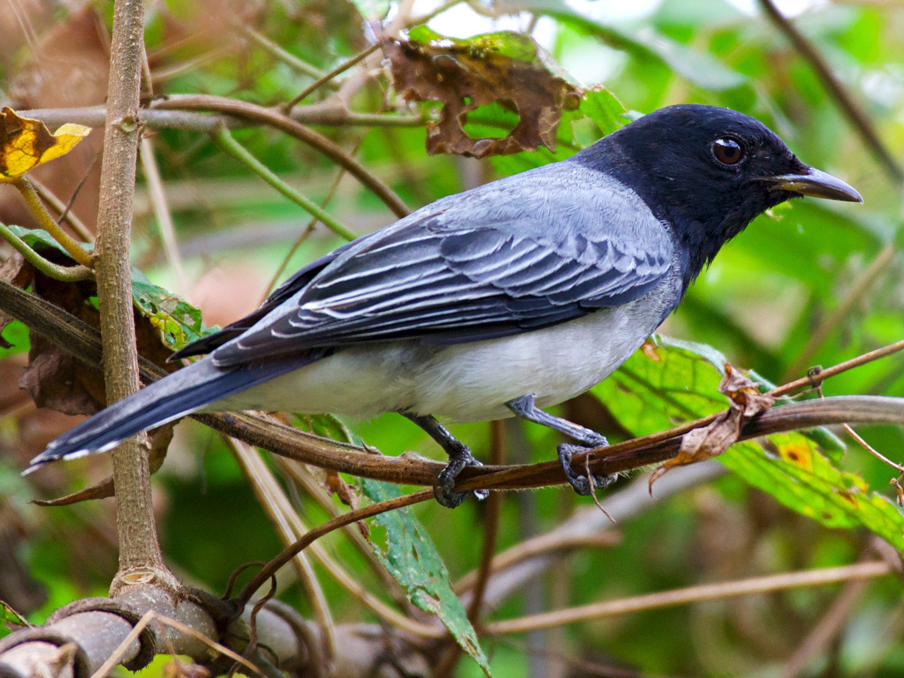 Black-headed Cuckooshrike - Shalu Amana