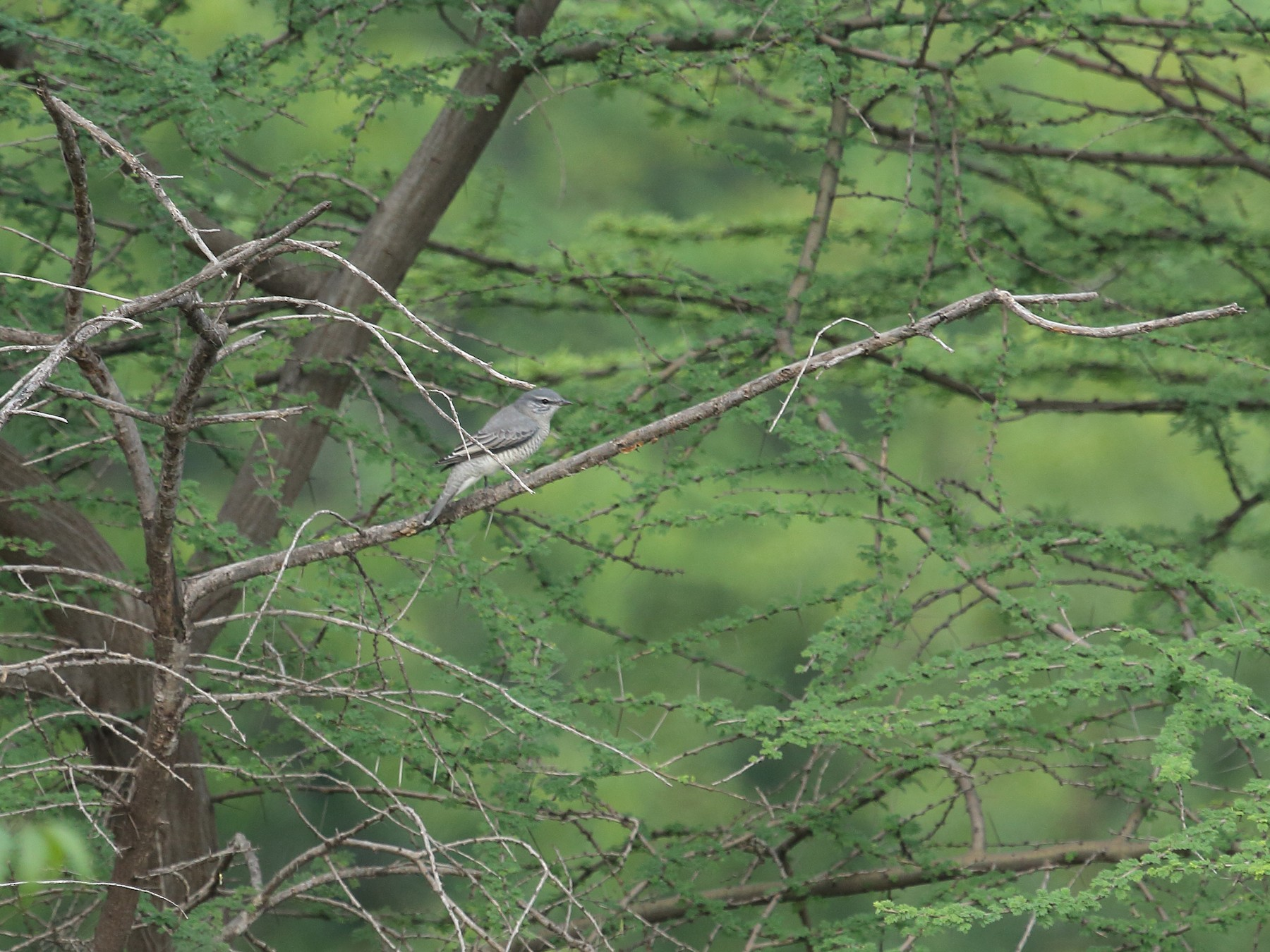 Black-headed Cuckooshrike - Raaj  Bora