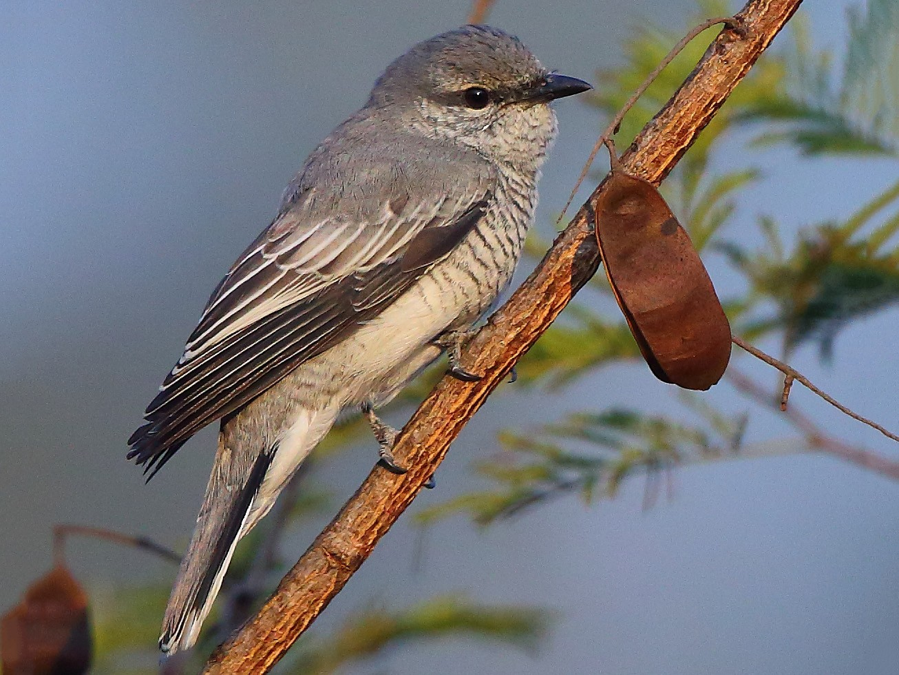 Black-headed Cuckooshrike - Albin Jacob