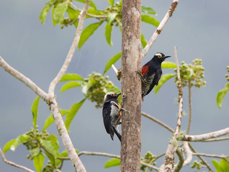 Yellow-tufted Woodpecker - Biron Toro