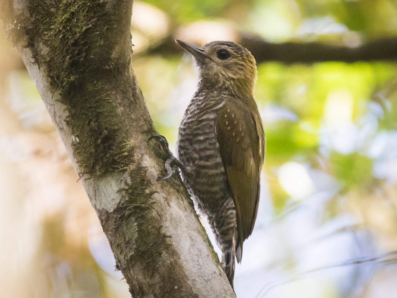 Red-stained Woodpecker - Claudia Brasileiro