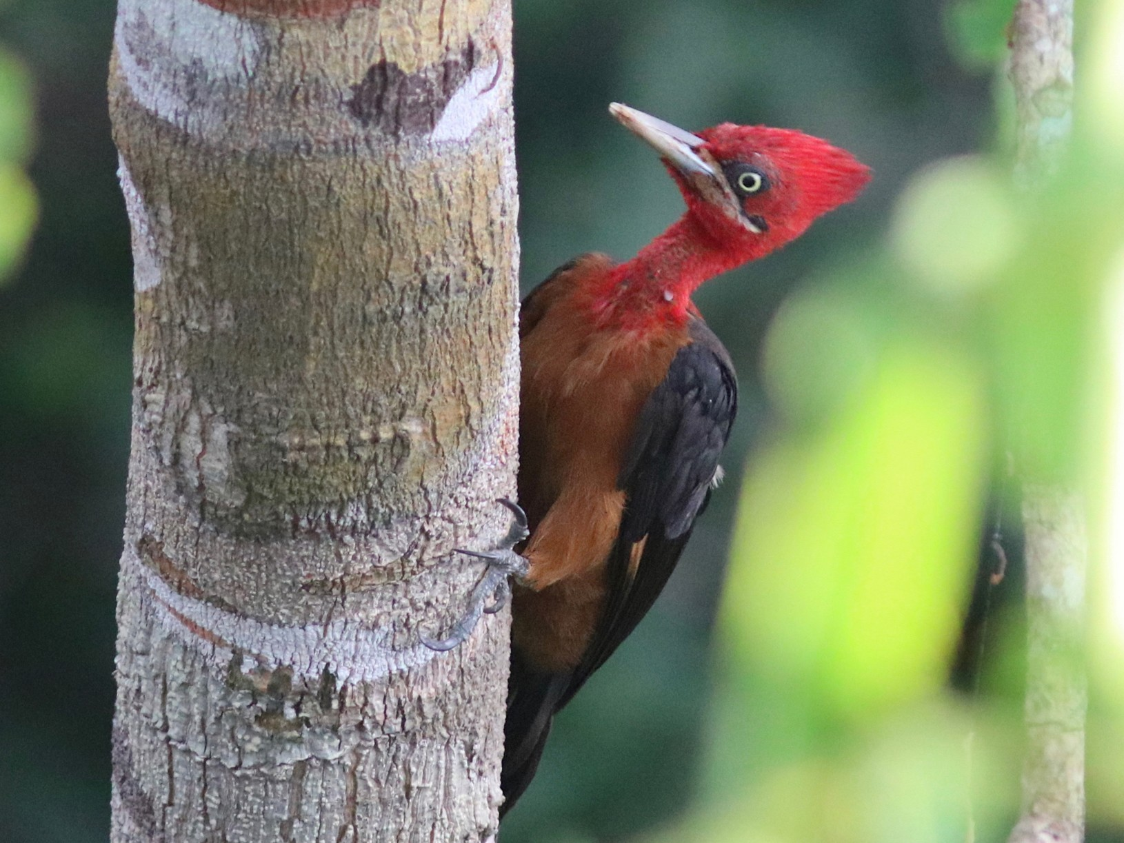 Red-necked Woodpecker - Andre Moncrieff